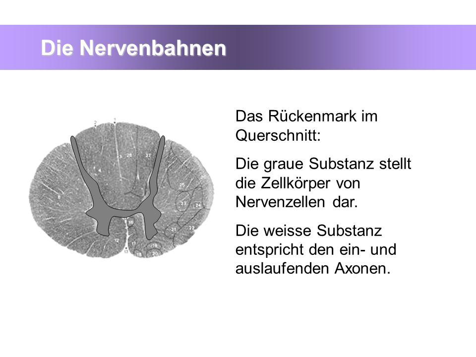Die Nervenbahnen Das Rückenmark im Querschnitt: Die graue Substanz stellt die Zellkörper von Nervenzellen dar. Die weisse Substanz entspricht den ein-