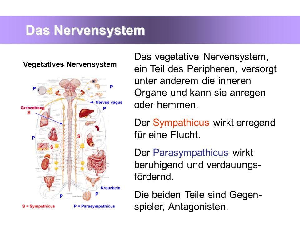 Das Nervensystem Das vegetative Nervensystem, ein Teil des Peripheren, versorgt unter anderem die inneren Organe und kann sie anregen oder hemmen. Der