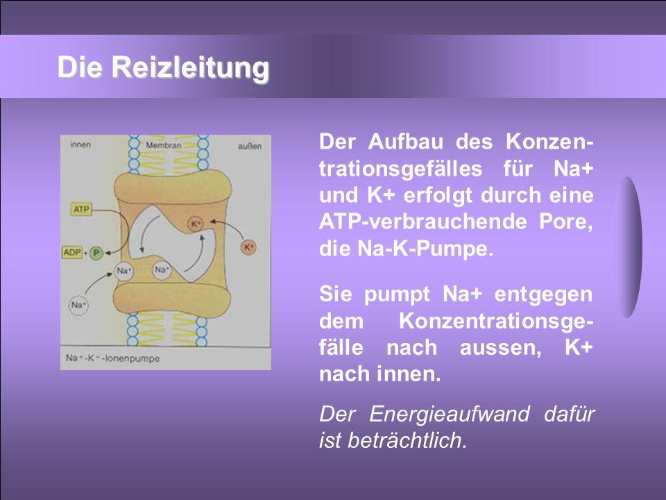 Der Aufbau des Konzen- trationsgefälles für Na+ und K+ erfolgt durch eine ATP-verbrauchende Pore, die Na-K-Pumpe. Sie pumpt Na+ entgegen dem Konzentra