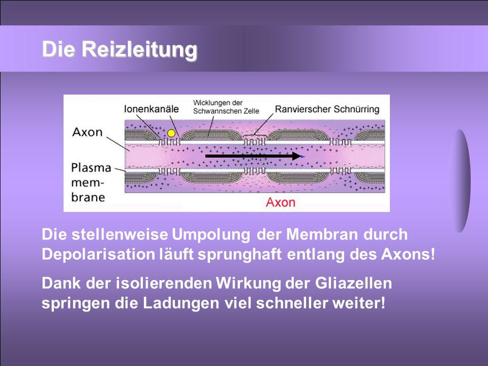 Die Reizleitung Die stellenweise Umpolung der Membran durch Depolarisation läuft sprunghaft entlang des Axons! Dank der isolierenden Wirkung der Gliaz