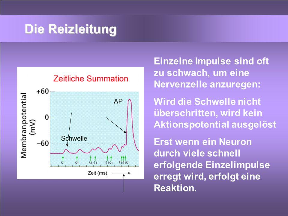 Die Reizleitung Einzelne Impulse sind oft zu schwach, um eine Nervenzelle anzuregen: Wird die Schwelle nicht überschritten, wird kein Aktionspotential
