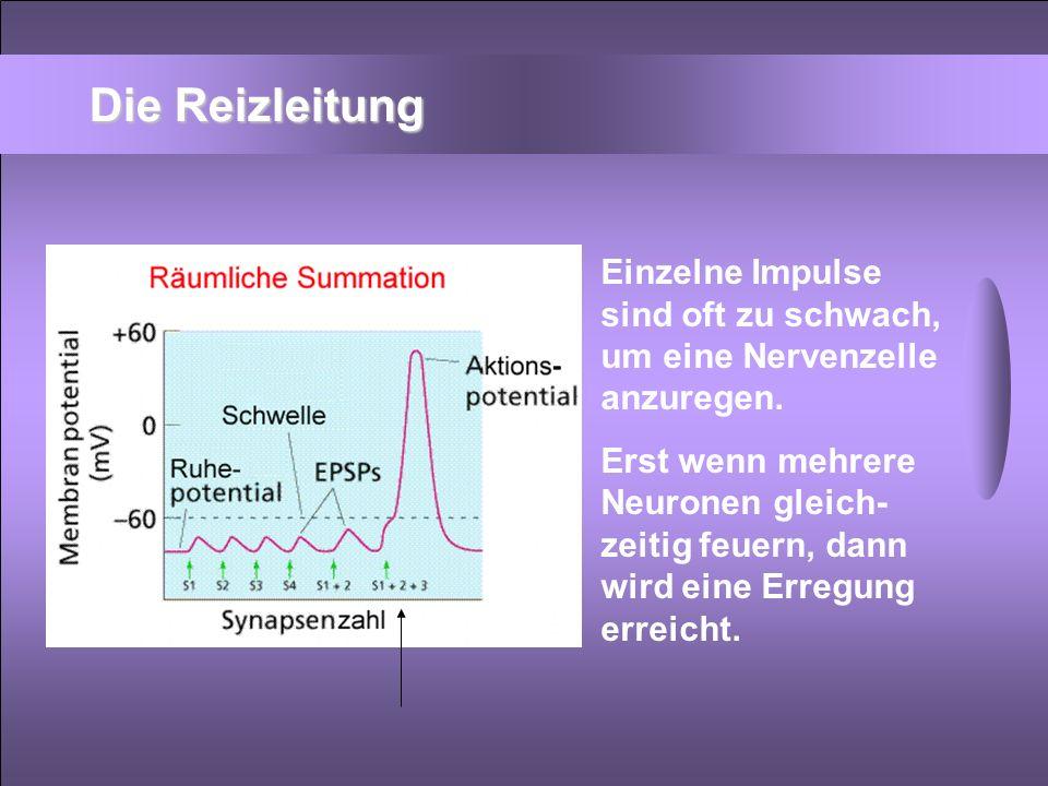 Die Reizleitung Einzelne Impulse sind oft zu schwach, um eine Nervenzelle anzuregen. Erst wenn mehrere Neuronen gleich- zeitig feuern, dann wird eine