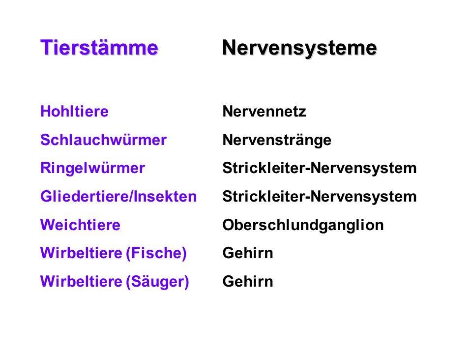 Tierstämme Nervensysteme Nervennetz Nervenstränge Strickleiter-Nervensystem Oberschlundganglion Gehirn Hohltiere Schlauchwürmer Ringelwürmer Gliederti
