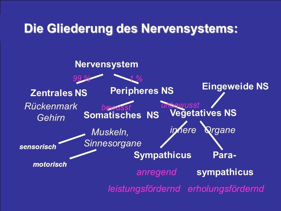 Die Gliederung des Nervensystems: Nervensystem Zentrales NS Rückenmark Gehirn Somatisches NS Muskeln, Sinnesorgane Sympathicus Para- anregend sympathi