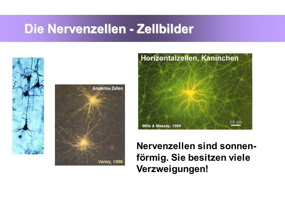 Die Nervenzellen - Zellbilder Nervenzellen sind sonnen- förmig. Sie besitzen viele Verzweigungen!
