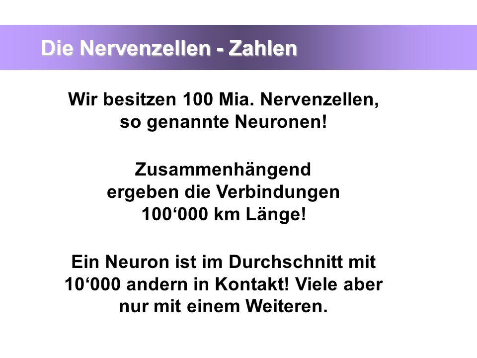 Die Nervenzellen - Zahlen Wir besitzen 100 Mia. Nervenzellen, so genannte Neuronen! Zusammenhängend ergeben die Verbindungen 100000 km Länge! Ein Neur