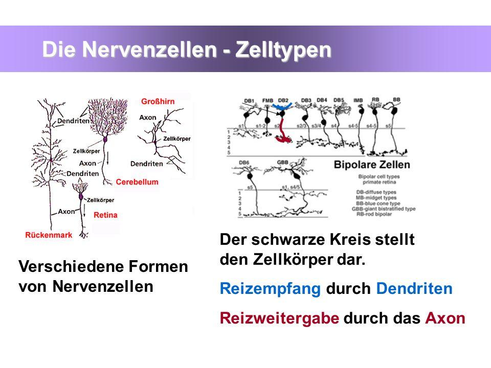 Die Nervenzellen - Zelltypen Verschiedene Formen von Nervenzellen Der schwarze Kreis stellt den Zellkörper dar. Reizempfang durch Dendriten, Reizweite