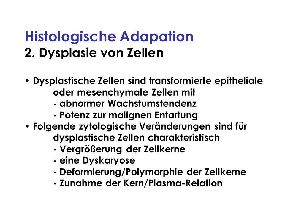 Histologische Adapation 2. Dysplasie von Zellen Dysplastische Zellen sind transformierte epitheliale oder mesenchymale Zellen mit - abnormer Wachstums