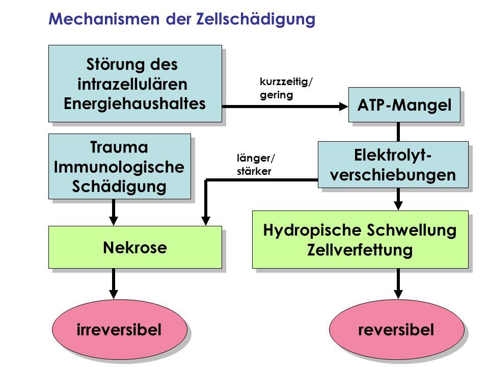 Mechanismen der Zellschädigung Störung des intrazellulären Energiehaushaltes Störung des intrazellulären Energiehaushaltes ATP-Mangel Elektrolyt- vers