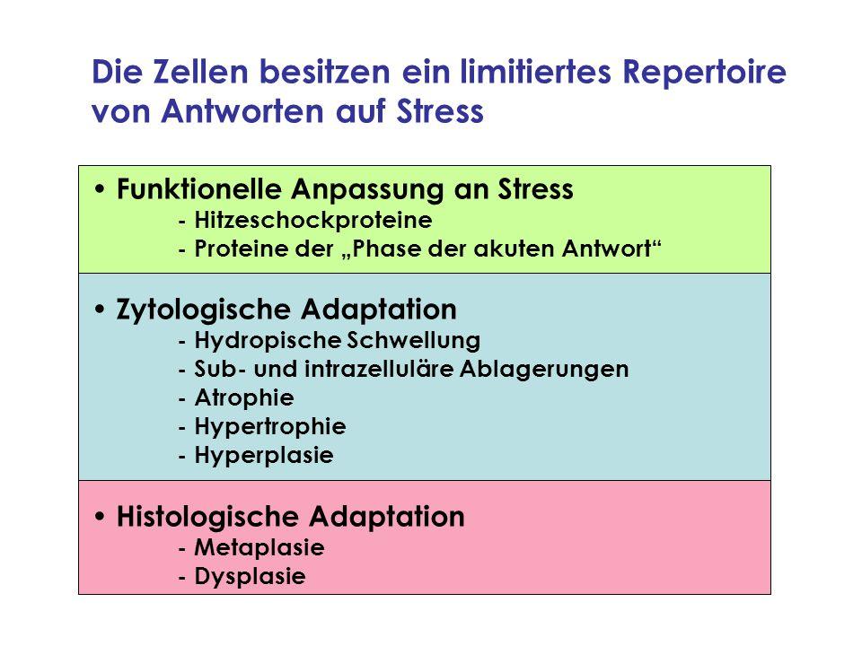 Die Zellen besitzen ein limitiertes Repertoire von Antworten auf Stress Funktionelle Anpassung an Stress - Hitzeschockproteine - Proteine der Phase de