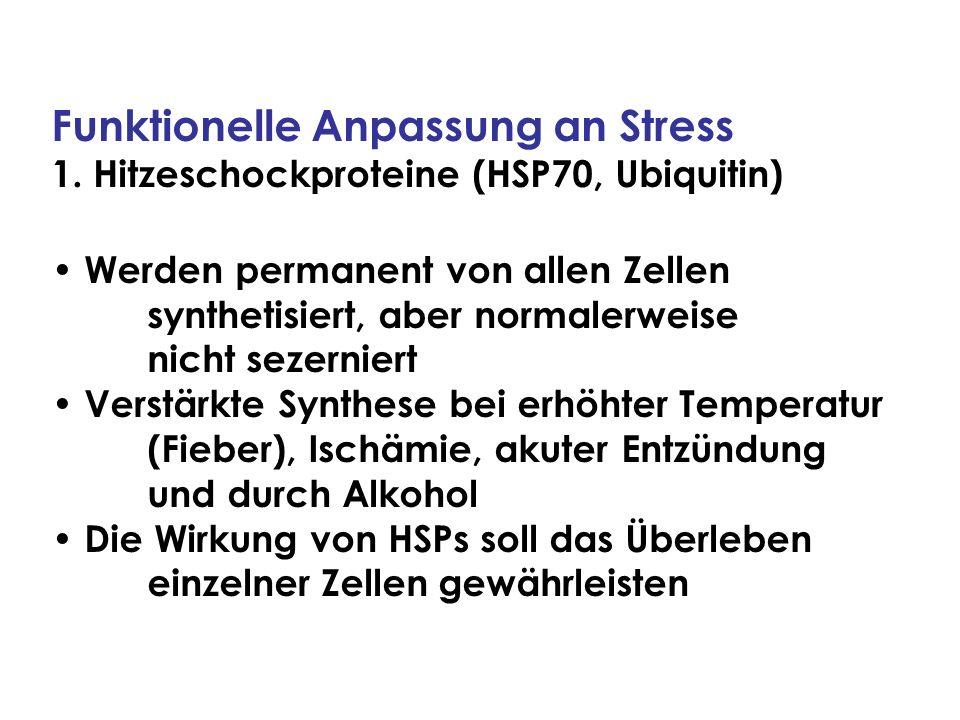 Funktionelle Anpassung an Stress 1. Hitzeschockproteine (HSP70, Ubiquitin) Werden permanent von allen Zellen synthetisiert, aber normalerweise nicht s