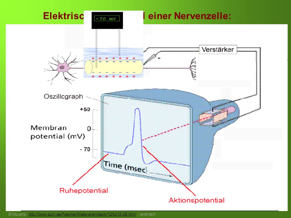 Erstellt von Braun M., Kunnert V., Pichler C. Elektrisches Potenzial einer Nervenzelle: Bildquelle: http://www.zum.de/Faecher/Materialien/beck/12/bs12