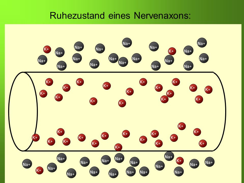 Erstellt von Braun M., Kunnert V., Pichler C. K+ Na+ K+ Na+ K+ Ruhezustand eines Nervenaxons: K+ Na+