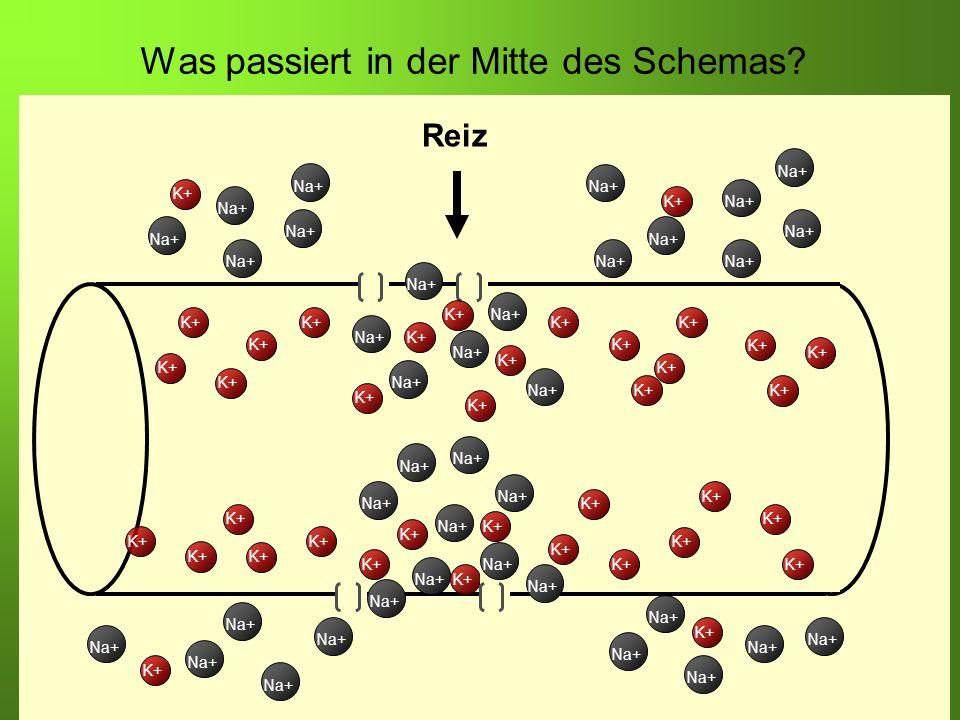 Erstellt von Braun M., Kunnert V., Pichler C. K+ Na+ K+ Na+ K+ Was passiert in der Mitte des Schemas? K+ Reiz K+ Na+ K+ Na+