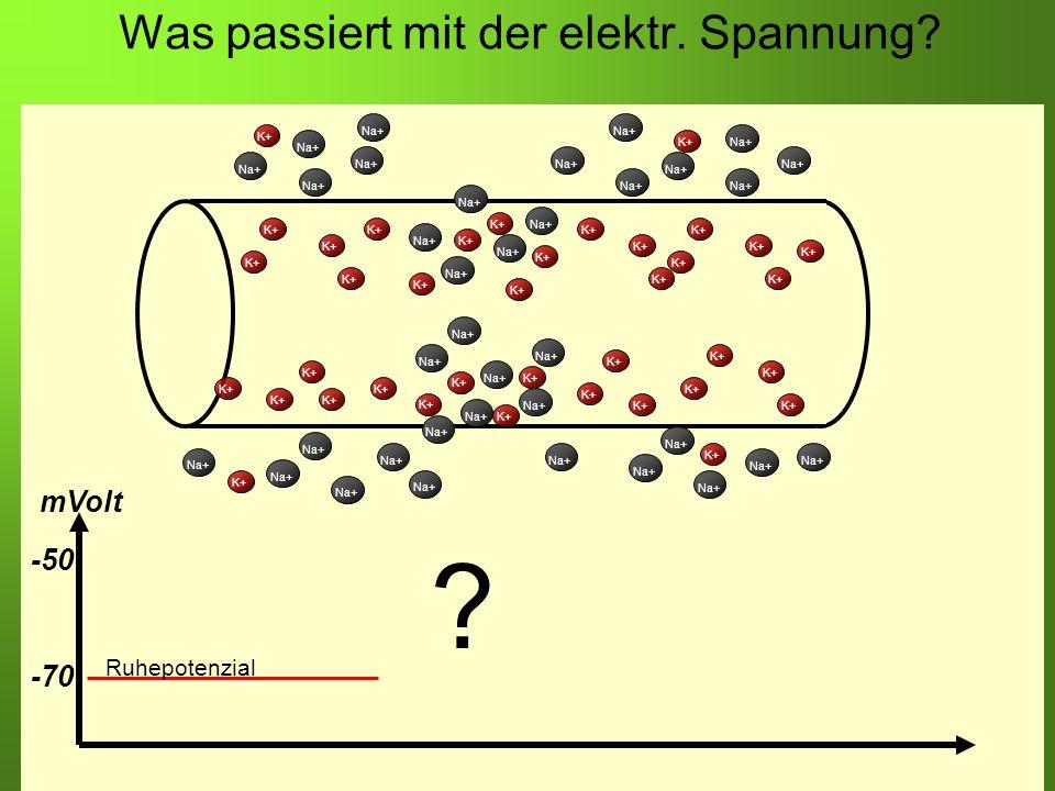 Erstellt von Braun M., Kunnert V., Pichler C. Was passiert mit der elektr. Spannung? K+ Na+ K+ Na+ K+ -70 -50 mVolt Ruhepotenzial ?