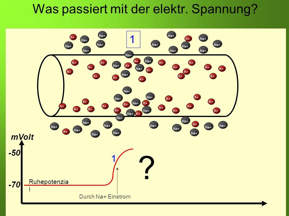 Erstellt von Braun M., Kunnert V., Pichler C. Was passiert mit der elektr. Spannung? K+ Na+ K+ Na+ K+ -70 -50 mVolt Ruhepotenzia l Durch Na+ Einstrom