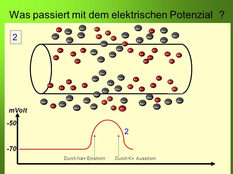 Erstellt von Braun M., Kunnert V., Pichler C. Was passiert mit dem elektrischen Potenzial? -70 -50 mVolt Durch Na+ EinstromDurch K+ Ausstrom K+ Na+ K+