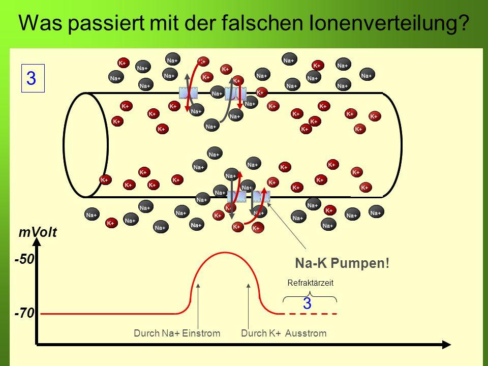 Erstellt von Braun M., Kunnert V., Pichler C. Was passiert mit der falschen Ionenverteilung? -70 -50 mVolt Durch Na+ EinstromDurch K+ Ausstrom K+ Na+