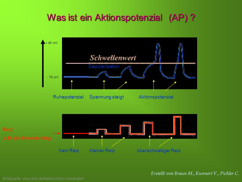 Erstellt von Braun M., Kunnert V., Pichler C. + 40 mV - 70 mV Ruhepotenzial Kein Reiz Spannung steigt Kleiner Reiz Aktionspotenzial überschwelliger Re