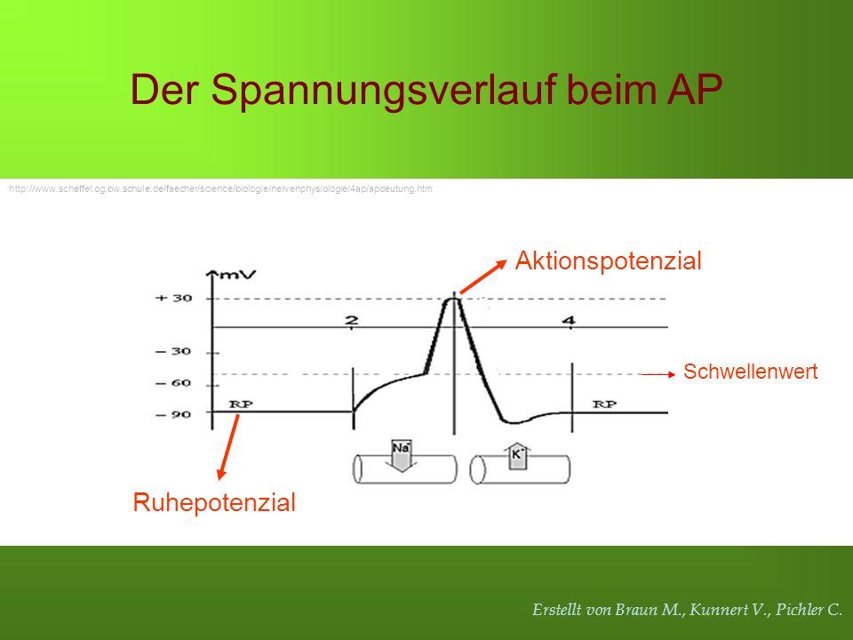 Erstellt von Braun M., Kunnert V., Pichler C. Ruhepotenzial Aktionspotenzial Der Spannungsverlauf beim AP http://www.scheffel.og.bw.schule.de/faecher/