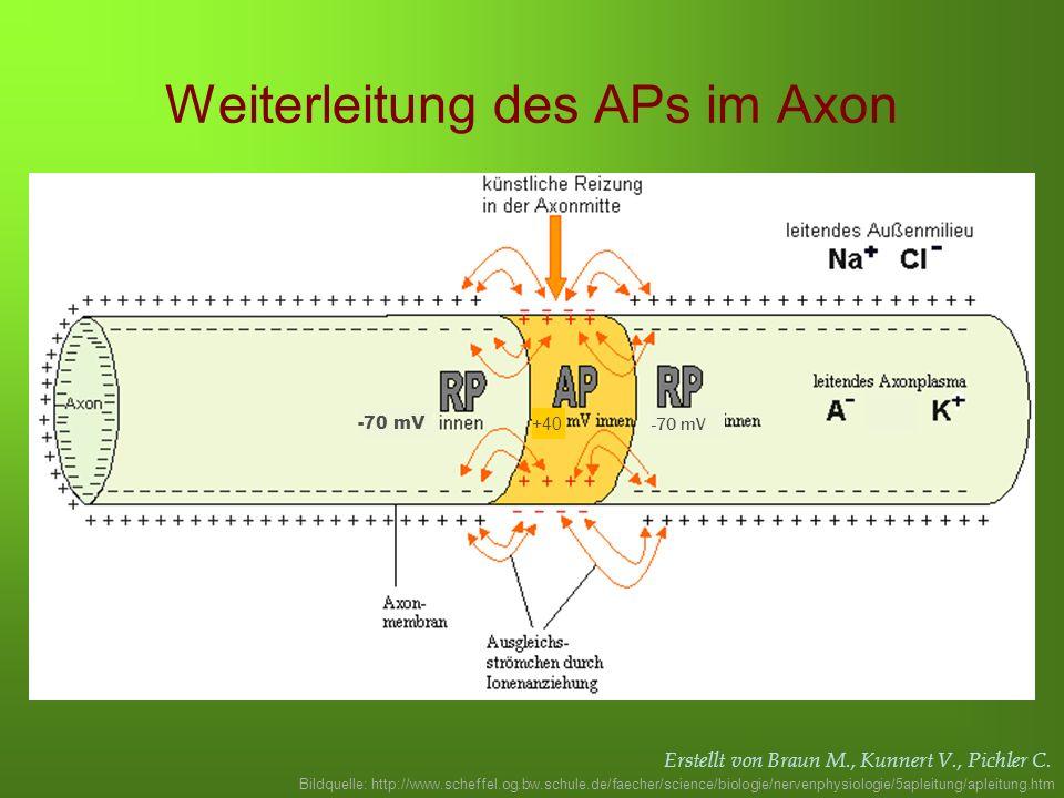 Erstellt von Braun M., Kunnert V., Pichler C. Weiterleitung des APs im Axon Bildquelle: http://www.scheffel.og.bw.schule.de/faecher/science/biologie/n