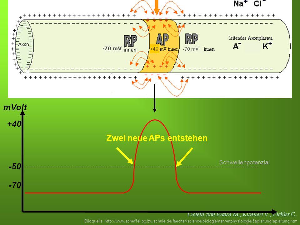 Erstellt von Braun M., Kunnert V., Pichler C. -70 -50 mVolt Schwellenpotenzial Zwei neue APs entstehen +40 Bildquelle: http://www.scheffel.og.bw.schul