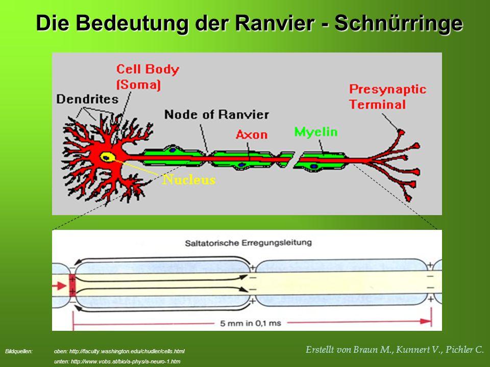 Erstellt von Braun M., Kunnert V., Pichler C. Die Bedeutung der Ranvier - Schnürringe Bildquellen: oben: http://faculty.washington.edu/chudler/cells.h