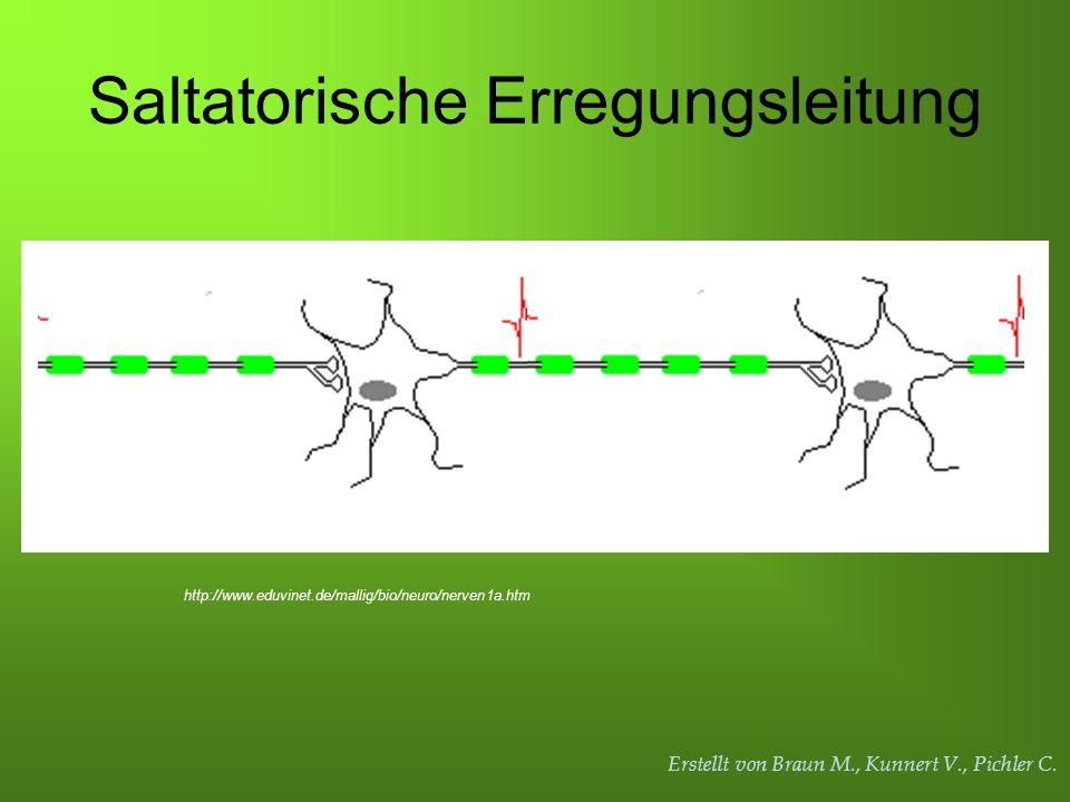 Erstellt von Braun M., Kunnert V., Pichler C. Saltatorische Erregungsleitung http://www.eduvinet.de/mallig/bio/neuro/nerven1a.htm