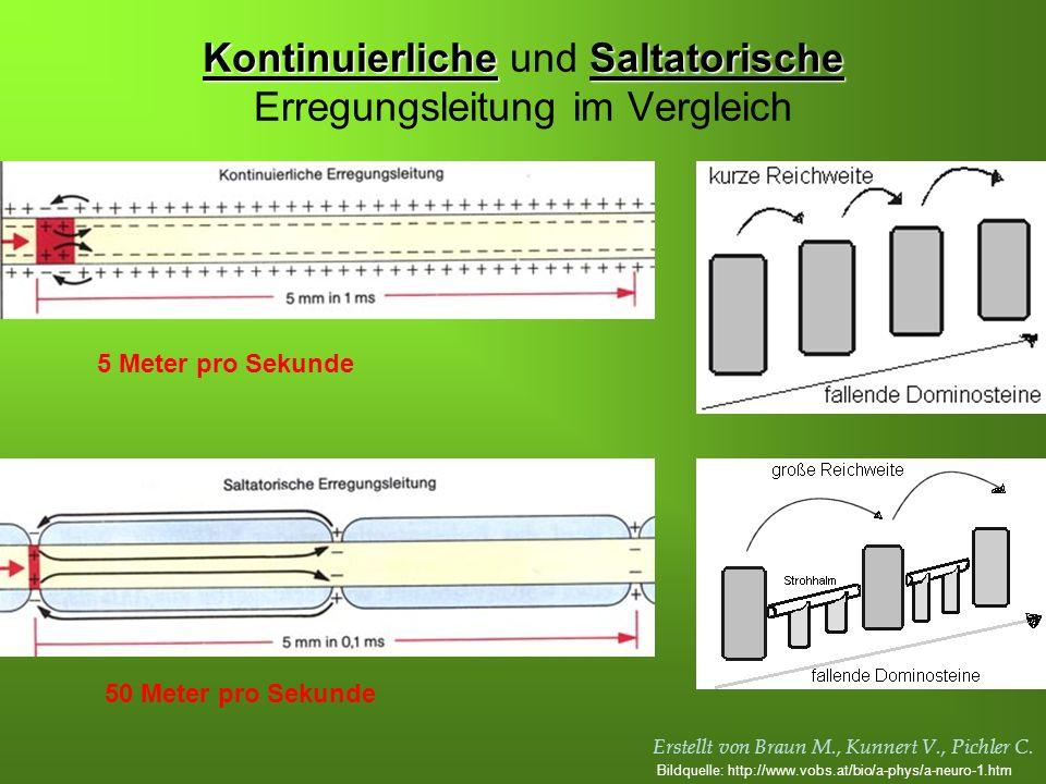 Erstellt von Braun M., Kunnert V., Pichler C. KontinuierlicheSaltatorische Kontinuierliche und Saltatorische Erregungsleitung im Vergleich 5 Meter pro
