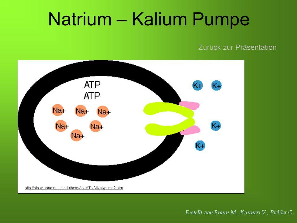 Erstellt von Braun M., Kunnert V., Pichler C. Natrium – Kalium Pumpe Zurück zur Präsentation http://bio.winona.msus.edu/berg/ANIMTNS/NaKpump2.htm