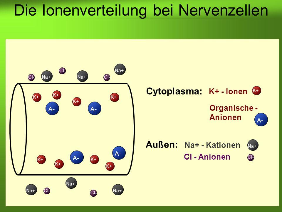 Erstellt von Braun M., Kunnert V., Pichler C. Cytoplasma: K+ - Ionen K+ A- K+ A- Cl- Na+ Cl- Na+ Außen: Na+ - Kationen Cl - Anionen Na+ Cl- Die Ionenv