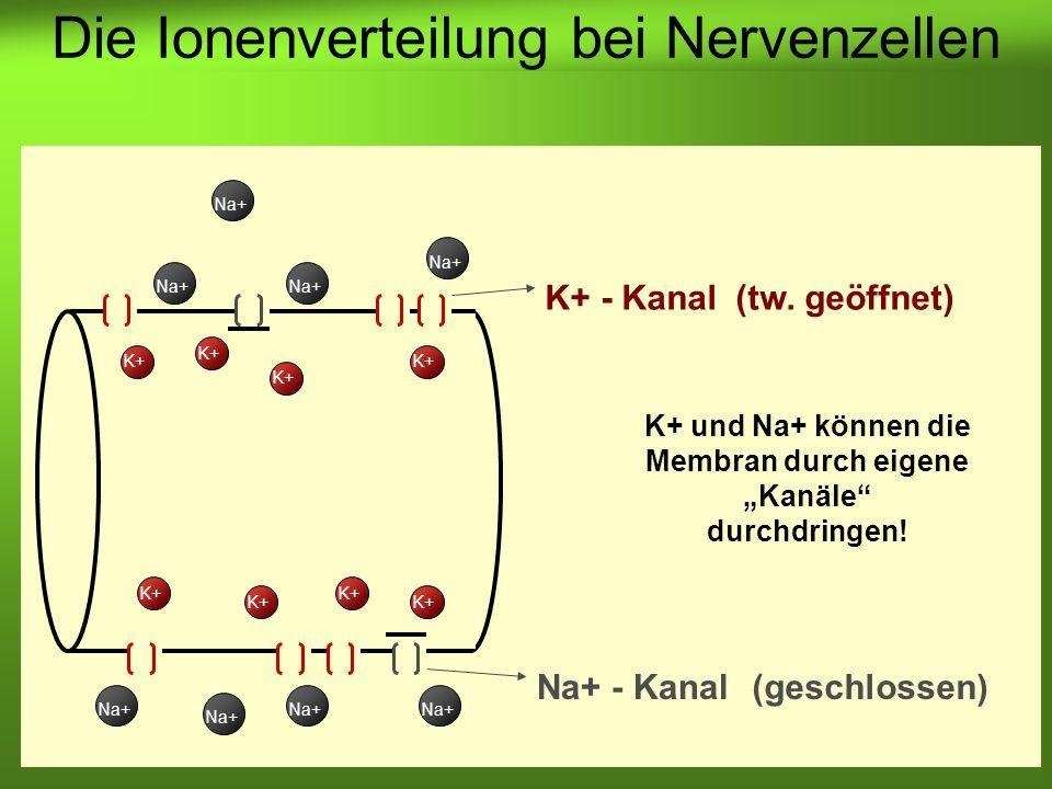 Erstellt von Braun M., Kunnert V., Pichler C. K+ und Na+ können die Membran durch eigene Kanäle durchdringen! K+ Na+ K+ - Kanal Na+ - Kanal Na+ K+ (ge