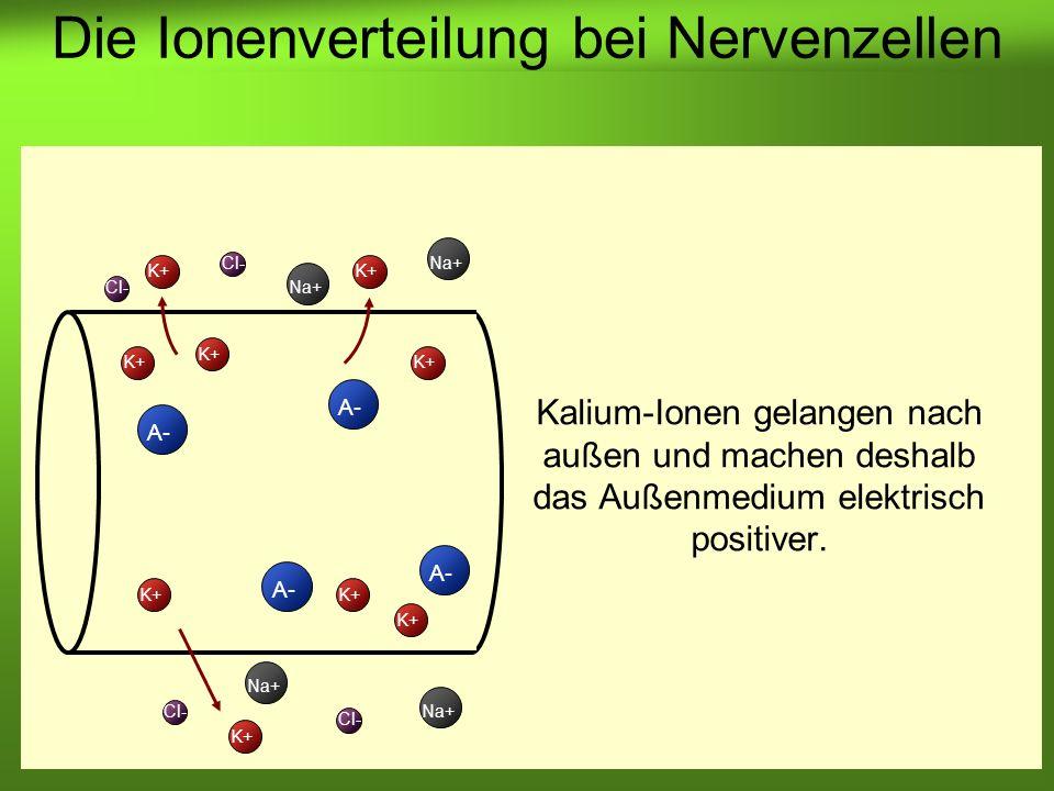 Erstellt von Braun M., Kunnert V., Pichler C. K+ A- K+ A- Cl- Na+ Cl- Na+ Die Ionenverteilung bei Nervenzellen Kalium-Ionen gelangen nach außen und ma