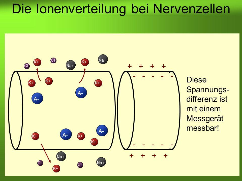Erstellt von Braun M., Kunnert V., Pichler C. K+ A- K+ A- Cl- Na+ Cl- Na+ - - - - - + + Die Ionenverteilung bei Nervenzellen Diese Spannungs- differen