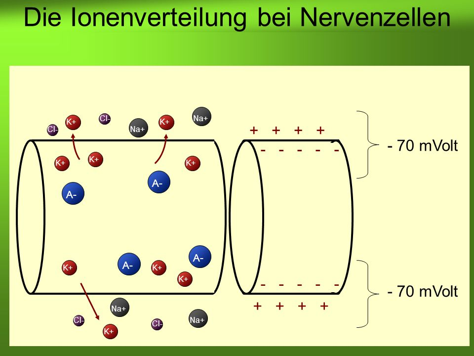 Erstellt von Braun M., Kunnert V., Pichler C. K+ A- K+ A- Cl- Na+ Cl- Na+ - 70 mVolt - - - - - + + Die Ionenverteilung bei Nervenzellen