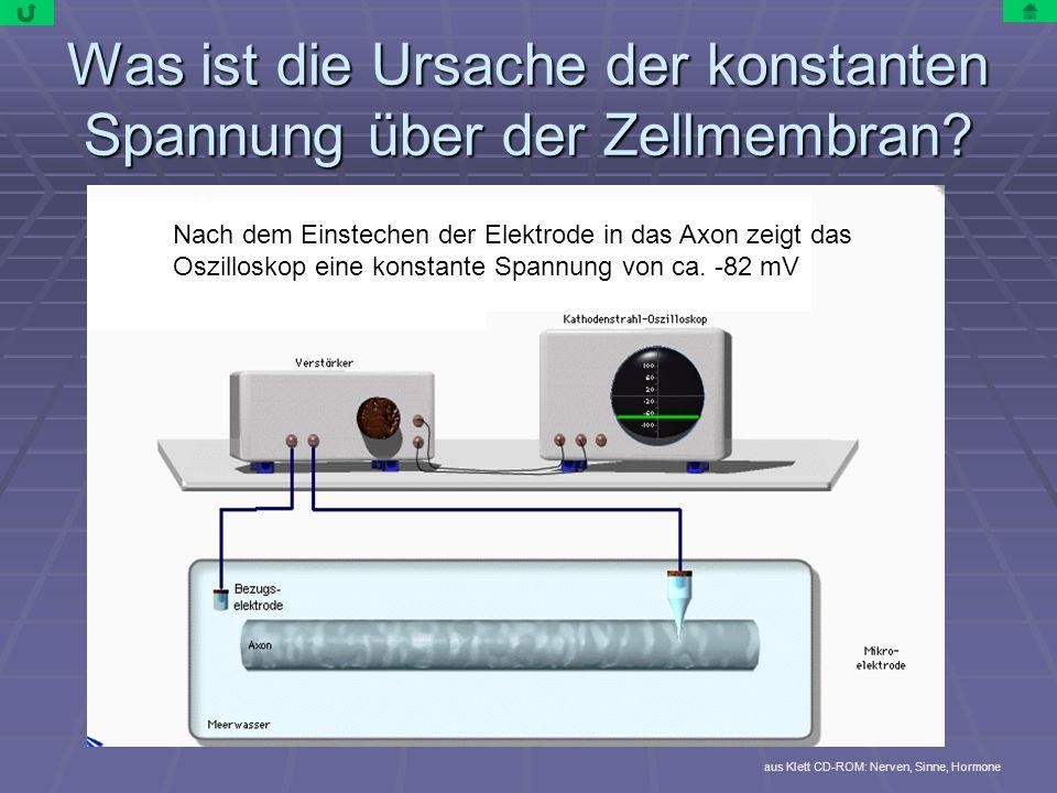 Was ist die Ursache der konstanten Spannung über der Zellmembran? aus Klett CD-ROM: Nerven, Sinne, Hormone Nach dem Einstechen der Elektrode in das Ax