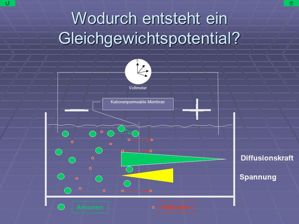 Wodurch entsteht ein Gleichgewichtspotential? Diffusionskraft Spannung AnionenKationen Kationenpermeable Membran Voltmeter 0