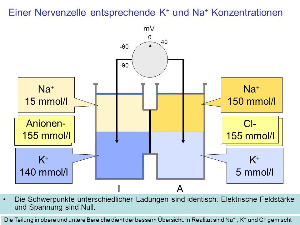 Einer Nervenzelle entsprechende K + und Na + Konzentrationen Die Schwerpunkte unterschiedlicher Ladungen sind identisch: Elektrische Feldstärke und Spannung sind Null.
