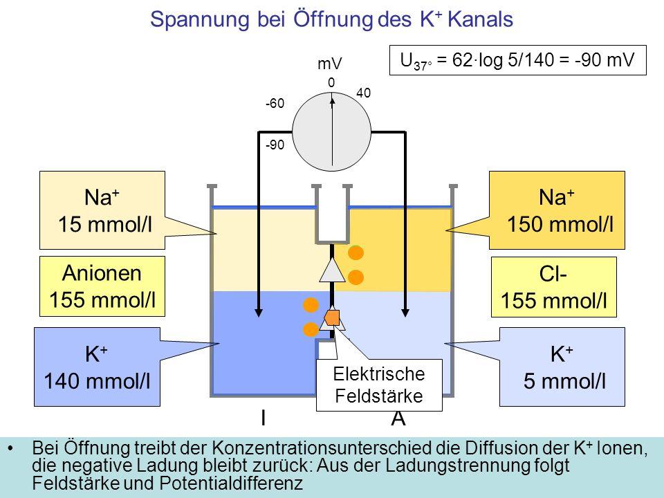 Spannung bei Öffnung des K + Kanals Bei Öffnung treibt der Konzentrationsunterschied die Diffusion der K + Ionen, die negative Ladung bleibt zurück: Aus der Ladungstrennung folgt Feldstärke und Potentialdifferenz mV -60 K + 5 mmol/l 40 0 IA K + 140 mmol/l -90 Na + 150 mmol/l Na + 15 mmol/l U 37° = 62·log 5/140 = -90 mV Elektrische Feldstärke Cl- 155 mmol/l Anionen 155 mmol/l