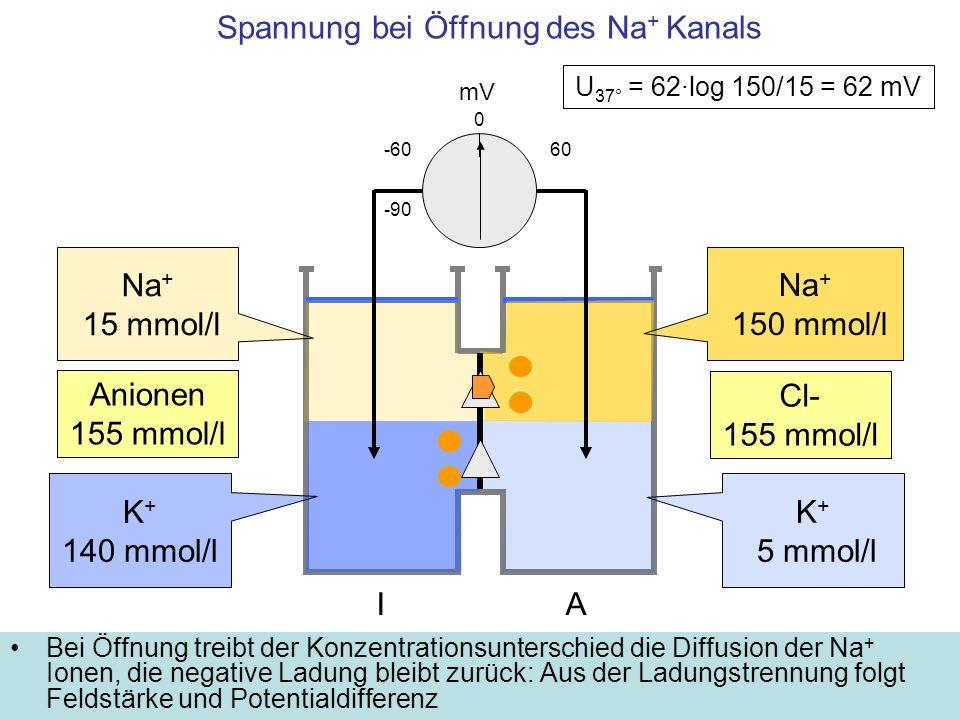 Spannung bei Öffnung des Na + Kanals Bei Öffnung treibt der Konzentrationsunterschied die Diffusion der Na + Ionen, die negative Ladung bleibt zurück: Aus der Ladungstrennung folgt Feldstärke und Potentialdifferenz mV -60 K + 5 mmol/l 0 IA K + 140 mmol/l -90 Na + 150 mmol/l Na + 15 mmol/l 60 U 37° = 62·log 150/15 = 62 mV Cl- 155 mmol/l Anionen 155 mmol/l