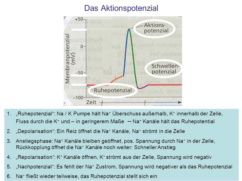 Das Aktionspotenzial 1.Ruhepotenzial: Na / K Pumpe hält Na + Überschuss außerhalb, K + innerhalb der Zelle, Fluss durch die K + und – in geringerem Ma