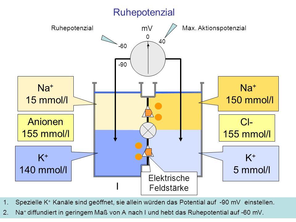 Ruhepotenzial 1.Spezielle K + Kanäle sind geöffnet, sie allein würden das Potential auf -90 mV einstellen. 2.Na + diffundiert in geringem Maß von A na