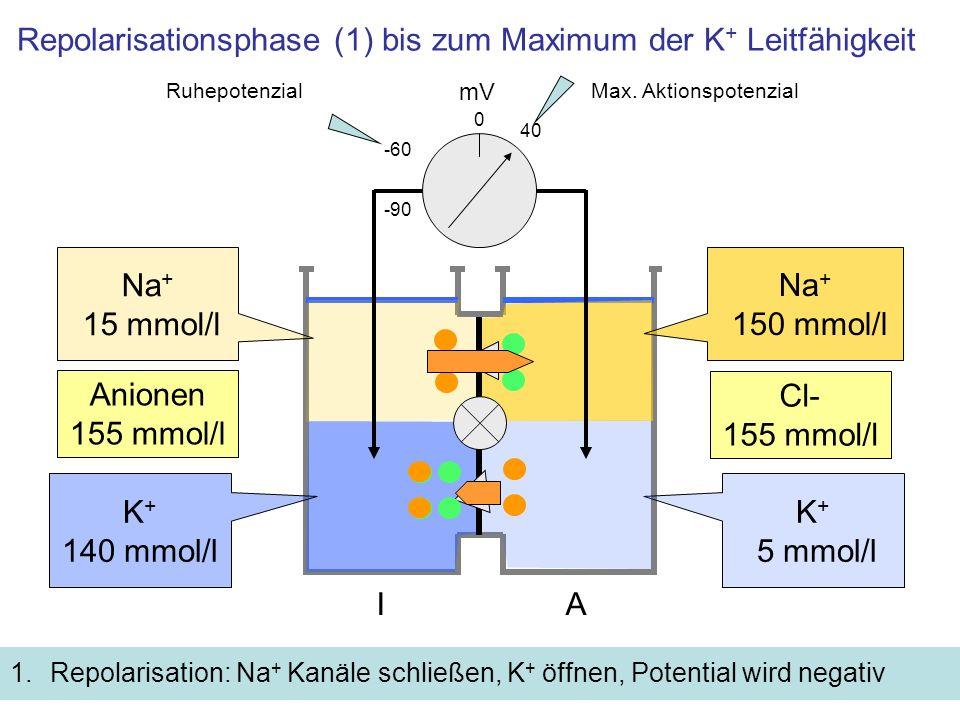 Repolarisationsphase (2) Inaktivierung der Na + Kanäle 1.Na + Kanäle schließen und werden inaktiviert 2.K + Kanäle schließen bis auf die des Ruhepotentials: Weil der Na + Zustrom fehlt, wird das Potential negativer als das Ruhepotential mV -60 K + 5 mmol/l 0 IA K + 140 mmol/l -90 Na + 150 mmol/l Na + 15 mmol/l Cl- 155 mmol/l Anionen 155 mmol/l 40 RuhepotenzialMax.