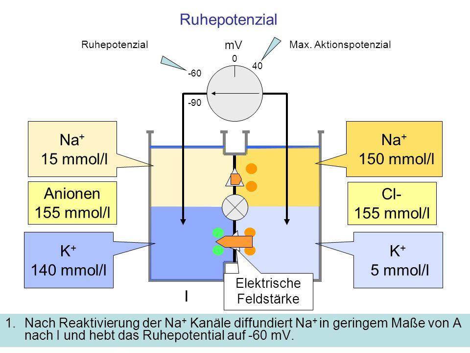 Ruhepotenzial 1.Nach Reaktivierung der Na + Kanäle diffundiert Na + in geringem Maße von A nach I und hebt das Ruhepotential auf -60 mV. mV -60 K + 5