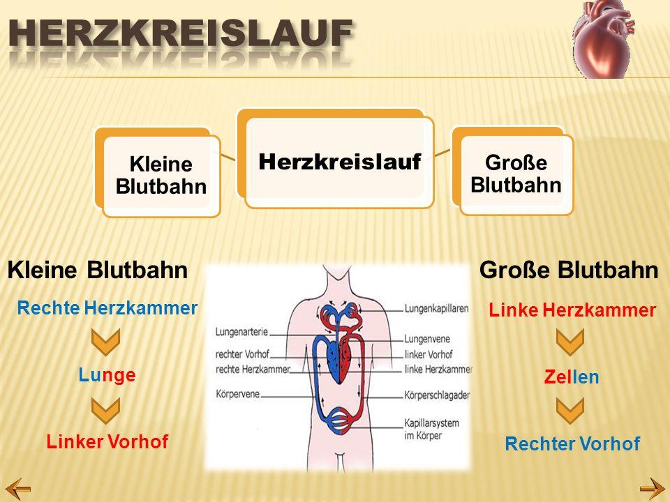 Rechte Herzkammer Lunge Linker Vorhof Linke Herzkammer Zellen Rechter Vorhof Kleine BlutbahnGroße Blutbahn Herzkreislauf Kleine Blutbahn Große Blutbah
