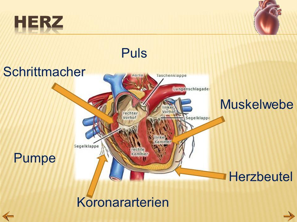 Koronararterien Herzbeutel Puls Pumpe Muskelwebe Schrittmacher