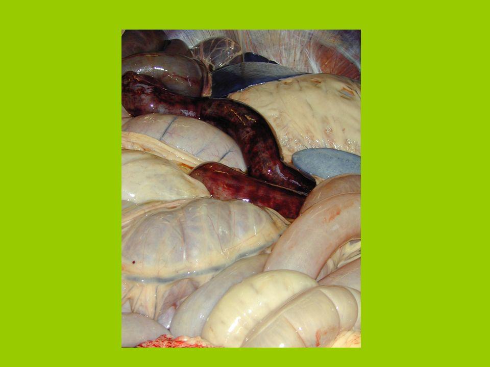 Okklusion des intestinalen LumensOkklusion des intestinalen Lumens An der Okklusionsstelle Defizit des M.circularis (Aperistaltik)An der Okklusionsste
