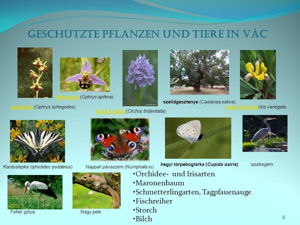 9 Geschützte Pflanzen und Tiere in Vác pókbangó pókbangó (Ophrys sphegodes) méhbangó méhbangó (Ophrys apifera) tarka kosbortarka kosbor(Orchis tridentata).