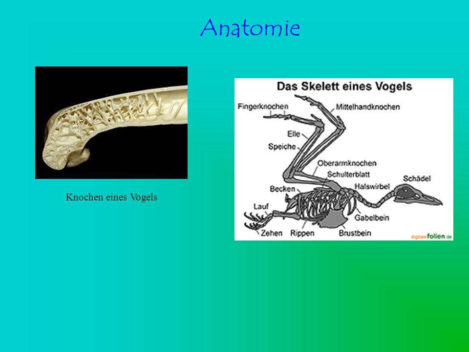 Anatomie Knochen eines Vogels