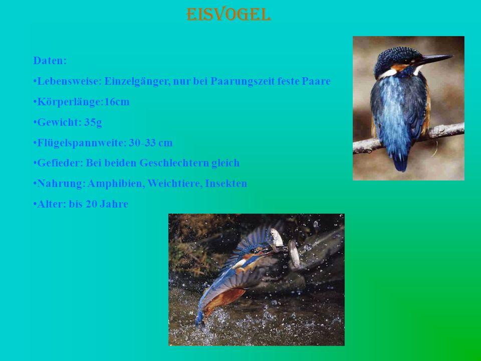 EISVOGEL Daten: Lebensweise: Einzelgänger, nur bei Paarungszeit feste Paare Körperlänge:16cm Gewicht: 35g Flügelspannweite: 30-33 cm Gefieder: Bei bei
